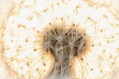 stock photo of blown-up  - blown dandelion flower head close up against the sky - JPG