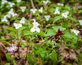 picture of trillium  - Single Red Trillium erectum growing amongst White Trilliums - JPG