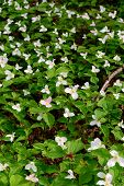 image of trillium  - Trillium bed Blooming on the Forest Floor - JPG