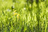 picture of cowslip  - Yellow cowslip or primrose flower grow in grass at spring or summer - JPG