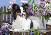 portrait of a purebred papillon dog poster