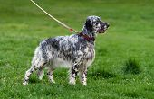 image of english setter  - Cute blue belton English Setter dog is standing in a spring flowering meadow and looking into the distance - JPG