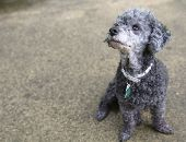 picture of poodle  - A black poodle sits on concrete wearing a white collar studded with rhinestones - JPG