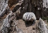 pic of badger  - Young American badger cub - JPG