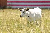 stock photo of texas-longhorn  - Texas longhorn steer in a field with a american flag painted on a barn - JPG