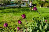 foto of grass-cutter  - close up of dark pink garden tulip and woman silhouette cutting grass mower - JPG