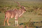 picture of antelope horn  - Large male kudu antelope with long spiralled horns - JPG