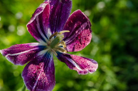 image of defloration  - Early morning water dew drops on purple deflorated tulip flower bloom petals move in wind in spring garden - JPG