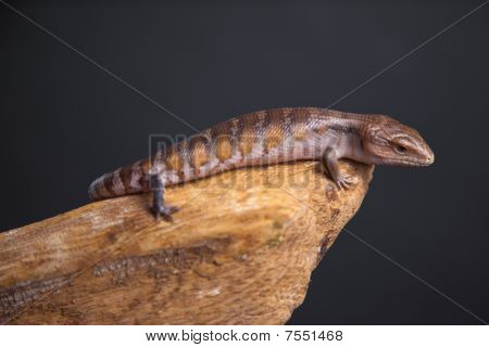 Blue Tongue Skink