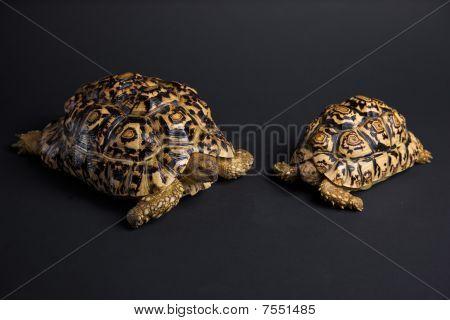 Amor de tartaruga