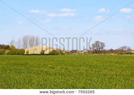 Wheatfield With Flowering Blackthorn