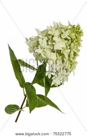 Flowers Of Hydrangeas Paniculata, Lat.hydrangea Paniculata, Isolated On White Background