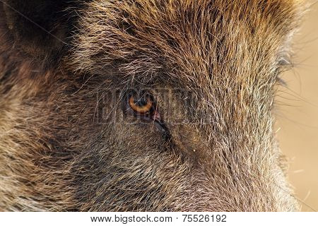Closeup Of A Wild Boar