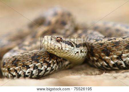 Closeup Of Meadow Viper