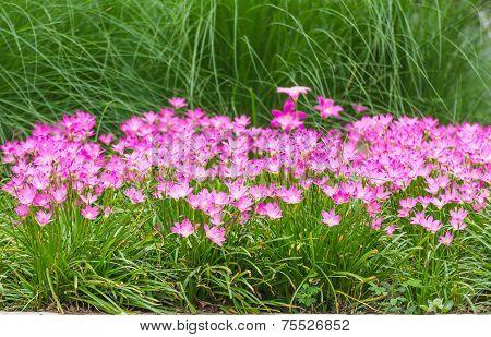 Pink Rain Lily Flower