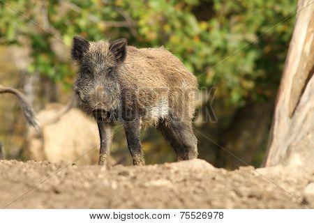One Wild Boar