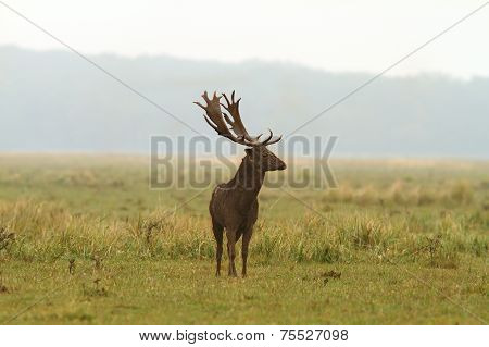 Wild Fallow Deer Stag
