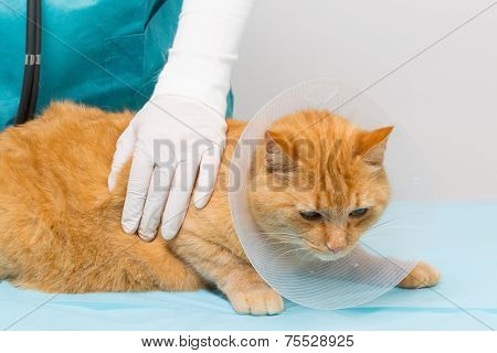 Animal Clinic - Cat Getting Ruff