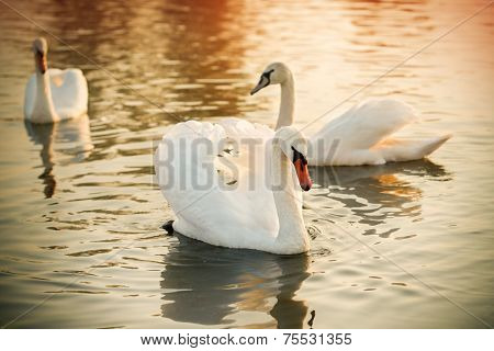 Three Swans On A River