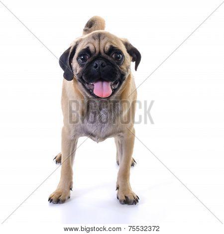 Pug Dog Standing Over White