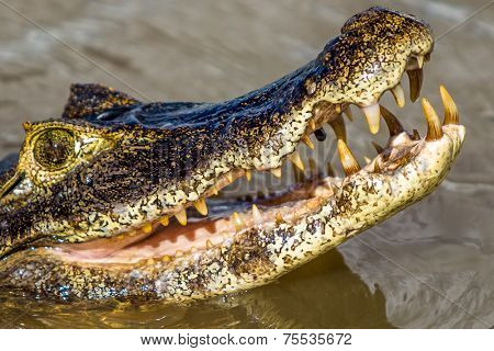 Amazing Crocodile in Pantanal river. Pantanal is one of the world's largest tropical wetland areas located in Brazil , South America