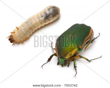 Beetle And Larva