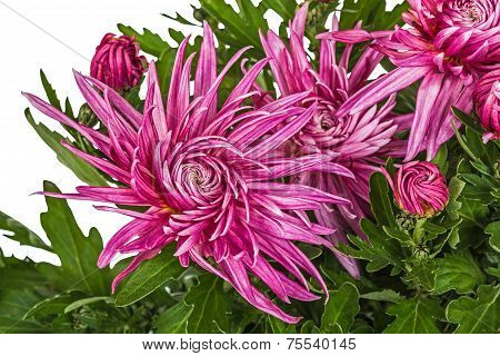 Flowers Of Chrysanthemum, Isolated On White Background
