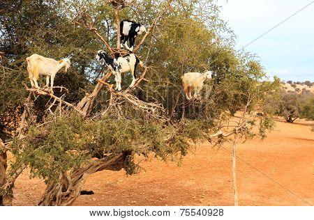 Moroccan Goats