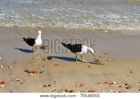 Two Seagulls Eating Fish On Beach With Stones Near Sea
