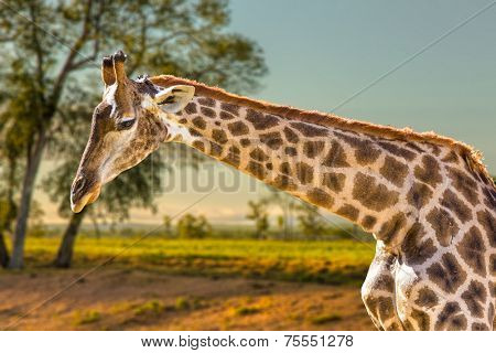 Amazing Giraffe in Africa