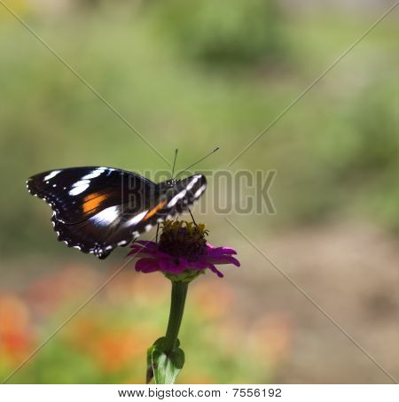 Butterfly In Color Hypolimnas Bolina Common Eggfly Female