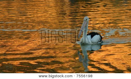 Pelican swimming on golden rippled water