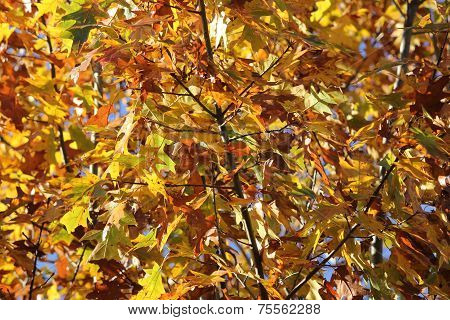 Oak Leaves Showing Various Change of Color in Mid Fall