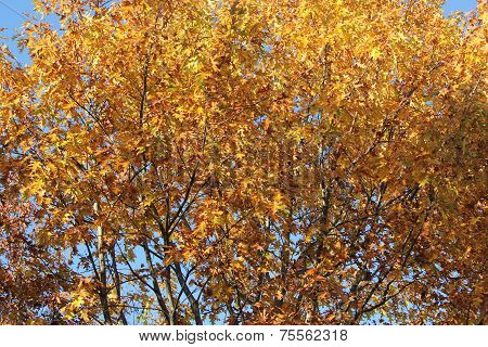 Oak Tree Leaves changing various colors against blue sky in fall