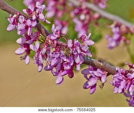 honey bee pollinating wild flowers