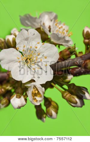 White flowers with kidneys of a sweet cherry