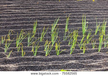 Onions In Lanzarote Island, Growing On Volcanic Soil