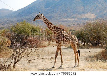 One Day Of Safari In Ruaha National Park - Giraffe