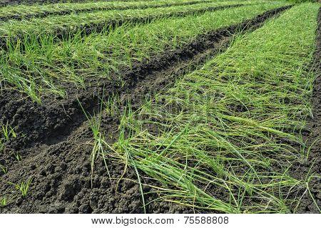 Onion Plantation