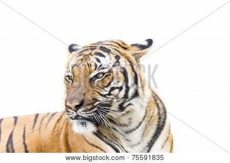 Adult Tiger On White