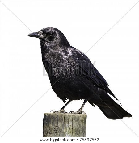 Crow isolated on white background