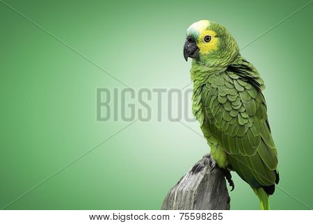 Brazilian Green Parrot on gree background