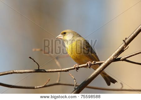 Female Greenfinch on a branch