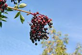 picture of elderberry  - Growing elderberry fruits on a background of blue sky - JPG