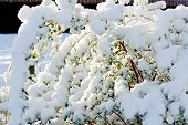 foto of freezing temperatures  - Beautiful sunny bush full cover with snow - JPG