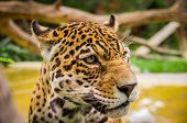 foto of ocelot  - closeup portrait of beautiful jaguar outdoors park zoo - JPG