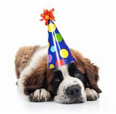 stock photo of pooper  - Mopey Saint Bernard Wearing a Polka Dot Birthday Silly Hat on White - JPG
