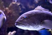 foto of grouper  - Head of the Dusky Grouper in an oceanarium  - JPG