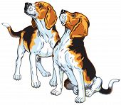 picture of foxhound  - two beagle hounds - JPG