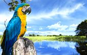 pic of parakeet  - Blue and Yellow Macaw in Pantanal - JPG